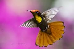 The Art of Flight (J. E. Foster) Tags: caribbean chrysolampismosquitus nikond7100 rubytopazhummingbird sigma150500mmf563dgoshsm trinidadandtobago yerette animal bird hummingbird nature wildlife