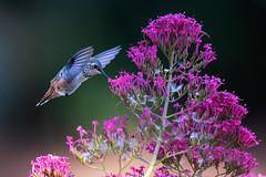 Allen's with Pink (Patricia Ware) Tags: allenshummingbird birdsinflight california canon ef400mmf4doisiiusmlens handheld selasphorussasin httppwarezenfoliocom ©2018patriciawareallrightsreserved huntingtonbeach unitedstates us specanimal sunrays5