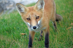 Peanut (marylee.agnew) Tags: vulpes fox red kit curious young nature