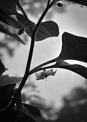 Nature and its shadows (alejandrabassoph) Tags: alkekengi beautyinnature branch closeup cloud sky day flower flowering plant focusonforeground freshness growth leaf leaves lowangleview nature nopeople outdoors plantpart selectivefocus tree