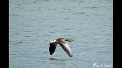 Vol d'une Oie cendrée (jean-daniel david) Tags: vidéo vol oiseau oiseaudeau oie oiecendrée réservenaturelle lac lacdeneuchâtel yverdonlesbains suisse suisseromande vaud nature eau