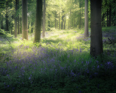 Between (gerainte1) Tags: woodland woods flowers bluebells blue green colour yorkshire