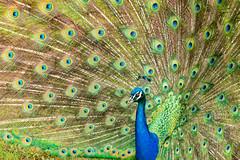 Safari Park Peacock