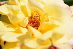 DSC_9981 (PeaTJay) Tags: nikond750 sigma reading lowerearley berkshire macro micro closeups gardens outdoors nature flora fauna plants flowers rose roses rosebuds