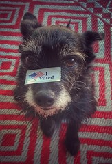 Stella Voted (joditbobo) Tags: vote stella texasrunoffelection 3652018 365the2018edition day142 142365 22may18