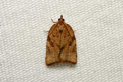 Argyroetaenia franciscana (Orange Tortrix Moth) - Hodges # 3612 - WA, USA (Nick Dean1) Tags: argyroetaeniafranciscana tortrix orangetortrixmoth tortricidae animalia arthropoda arthropod hexapoda hexapod insect insecta lepidoptera moth washington hodges