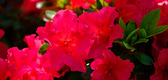 Azalea or rhododendron? (alh1) Tags: england haxby northyorkshire york azalea deciduous macro