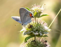 Butterfly (nuranaaba) Tags: buterfly insect macro picture photography closeup shot image flowers outdoor garden beauty