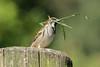 Musje (K.Verhulst) Tags: mus musje huismus sparrow vogels birds bird
