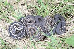 Adders (Vipera berus) communal basking (willjatkins) Tags: snakes snake snakesofeurope wildlife europeanreptiles europeanwildlife europeansnakes britishwildlife britishamphibiansandreptiles britishreptilesandamphibians britishreptiles britishsnakes viperaberus viper vipera adder adders communalbasking ballofsnakes ukwildlife ukreptilesandamphibians ukamphibiansandreptiles ukreptiles uksnakes nikond610 sigma105mm melanisticadder melanistic animalbehaviour springwildlife