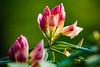 Burgeon (KPPG) Tags: 7dwf closeup pflanze blume spriesen wachsen growing burgeon farbenfroh colorful