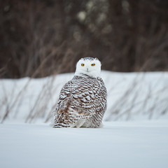 Snowy Owl (humanaaut) Tags: snowyowl buboscandiacus