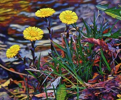 Colourful Coltsfoot-HSS! (☼☼Good Day Sunshine!☼☼) Tags: sliderssunday flowers coltsfoot yellow creek slope colourful topaz