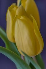 Trio in yellow (Pejasar) Tags: tulip yellow flower bluebackground beauty spring tulsa oklahoma