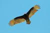 Soaring Turkey Vulture (Cathartes aura); Catalina, Arizona [Lou Feltz] (deserttoad) Tags: nature arizona bird wildbird raptor vulture behavior flight clouds