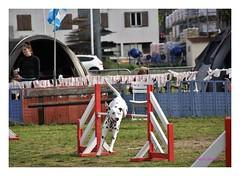 Album Chiens Clients Janvier-Avril 2018 (17) (Dalmatien-Golden-Braque) Tags: dalmatien goldenretriever braquedeweimar chien carcassonne elevage eleveur animaux dog breader