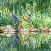 _DSC3805 (vilaramon) Tags: verdierdeurope carduelischloris europeangreenfinch passériformes fringillidés