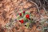 Cactus (ℓéna~) Tags: canyonlands np nationalpark usa usnationalpark us utah flower cactus