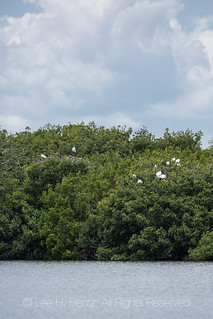 Wood Stork Nesting Colony in Everglades National Park