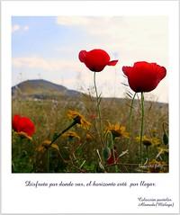 Amapolas en el camino- Alameda (Málaga) (lameato feliz) Tags: amapolas paisaje postales frase alameda pimavera