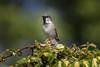 House Sparrow (Steve (Hooky) Waddingham) Tags: bird british countryside nature garden wild wildlife song