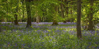 Dalkeith Country Park - Bluebells
