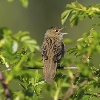 Grasshopper Warbler......