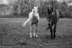 Curiosity Too (danfryer2) Tags: curiosity digitalphotography barn monochrome mood nature nikond7200 blackandwhite mono moody lady horse firefly clouds