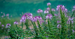 Field of spider flowers (Sheehan Tauseef) Tags: flower flowers green pink bloom blooming blossom flora floral petals nature bokeh blue cleome