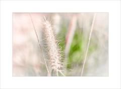 Summer Grass ~ (FLGalleria) Tags: canon summer grass pastel soft bokeh sunlight movement depthoffield breeze stilllife