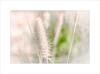 Summer Grass ~ (FLGalleria) Tags: canon summer grass pastel soft bokeh sunlight movement depthoffield breeze