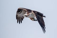 Osprey With Fish (Simon Stobart (Catching Up and Editing)) Tags: florida unitedstates us osprey fish pandion haliaetus flying