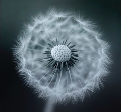 Yet another dandelion (Funchye) Tags: dandelion seeds nikon d610 105mm