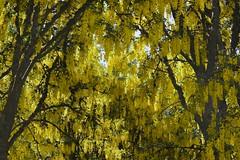 142:365-May 22-Golden Canopy (karendunne337) Tags: