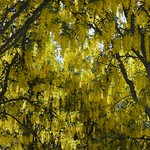 142:365-May 22-Golden Canopy thumbnail
