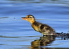 The Duckling & The Fly (mikestreicher) Tags: mallardduckling duckling babyduck