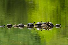 DSC_0576 (Stacey Conrad) Tags: woodsedgepark d500 lancaster nikon pa lake water turtle log