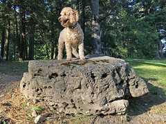 (Jean Arf) Tags: highlandpark rochester spring 2018 pinetum dog poodle dusty miniaturepoodle rock