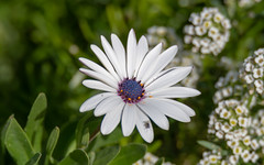 White Gazania Daisy Flower with Purple Centre with Fly (Merrillie) Tags: flowers nature flower australia floral daisy fly scenery newsouthwales coastal uminabeach wildflower gazania wild macro flora umina nsw gardens greenery outdoors insects purple centralcoast petals white
