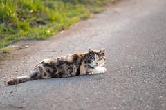 LR-DSCF9809 (studiofuntas) Tags: machineko yodogawa straycat higashiyodogawaku joggingroad road pet grass animal soil cat