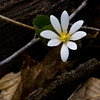 Bloodroot (ramseybuckeye) Tags: bloodroot columbus ohio highbanks spring wildflower
