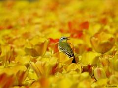 Yellow Wagtail in a tulip field (Corine Bliek) Tags: vogel vogels bird birds wildlife nature natuur tulpen tulips spring voorjaar flowering colourfull bloemen bloei kleurrijk bulb fields bollenvelden macro flower food wood motacillaflava yellow
