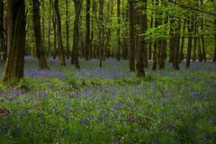 IMG_7741.jpg (ChodHound) Tags: ashridgeestate bluebells