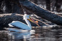 20180428-_DSC4152.jpg (GrandView Virtual, LLC - Bill Pohlmann) Tags: stillwatermn spring wildlife border nature bird americanwhitepelican stcroixboomsite minnesota stcroixriver kayaking