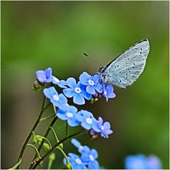 nature........... (atsjebosma) Tags: vergeetmijniet forgetmenot butterfly boomblauwtje vlinder macro nature natuur atsjebosma garnwerd groningen thenetherlands lente spring flower bloem voorjaar april 2018 azurédenerpruns ngc npc