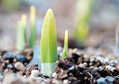 Emerging (Karen_Chappell) Tags: spring growth plant green nature macro soil garden park bowringpark canonef100mmf28usmmacro