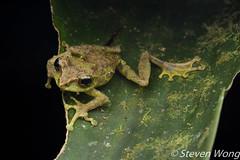Mossy Bush Frog (Philautus macroscelis) (Steven Wong (ATKR)) Tags: steven wong siew por atkr45 stryker wsp atkr herp herping malaysia mossy bush frog philautus macroscelis