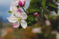Flor de manzano (mariusbucsa) Tags: flor manzano colores finca primavera paseo calatayud aragón es españa nikkor35mm18g nikkor nikon nikond5600 arbol