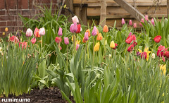 Spring (rumimume) Tags: potd rumimume 2017 niagara ontario canada photo canon 80d sigma spring sun day outdoor flower colour color nature 2018