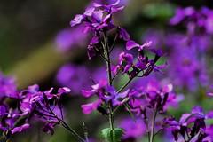 (PinoyFri) Tags: blume bulaklak fleur bloem flor virág fiore blomma viola 제비꽃 fiolett violeta สีม่วง menekşe bokeh nikond3400 tamron70300